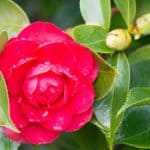 Red flower of the Camellia plant
