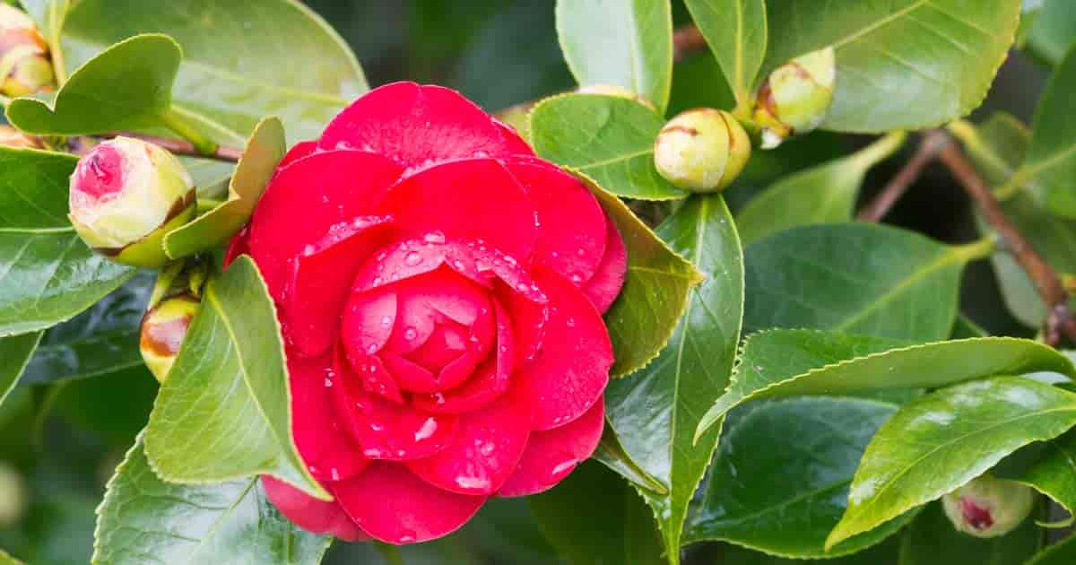 Growing Camellia Plants How To Care For Camellia Flowers