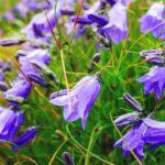 Flowering Campanula Carpatica Carpathian Bellflower