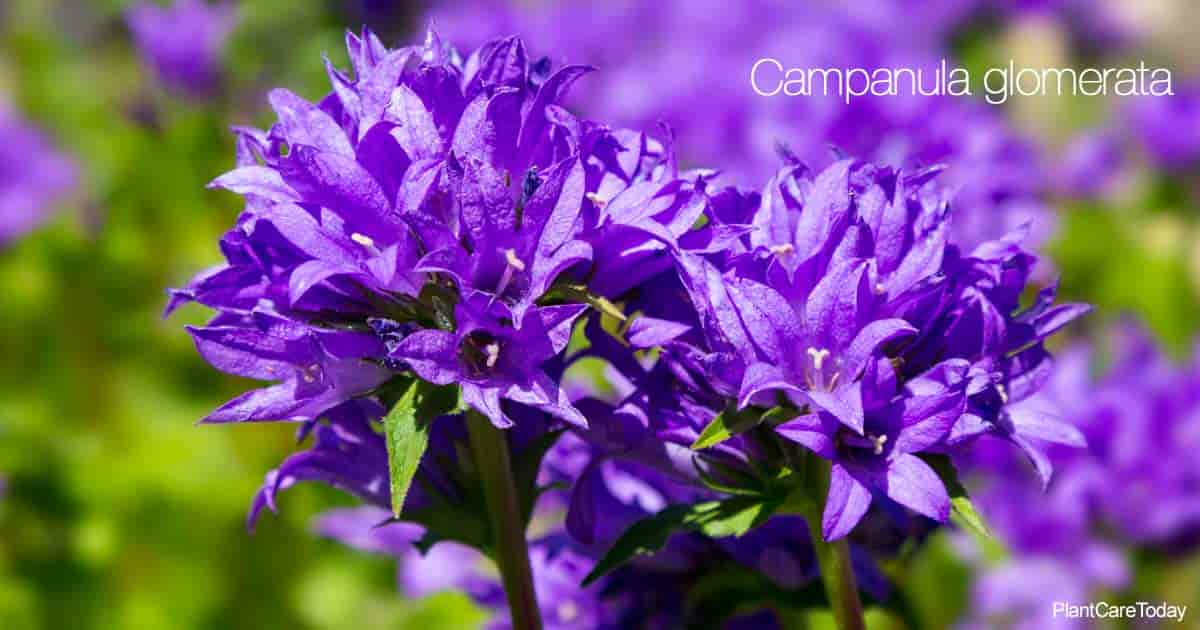 Purple blooms of the cluster flower - Campanula Glomerata