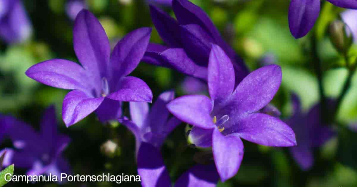 Purple flowers of the campanula portenschlagiana plant