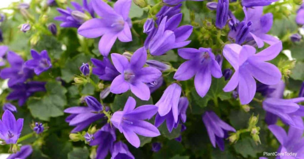 blooms of the Serbian Bellflower - Campanula Poscharskyana
