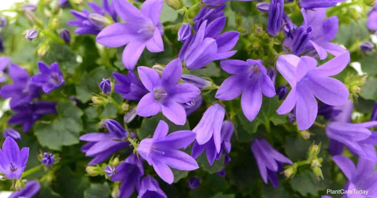 Serbian Bellflower flowers - Campanula Poscharskyana