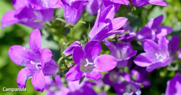 Purple flowers of the blooming Campanula portenschlagiana