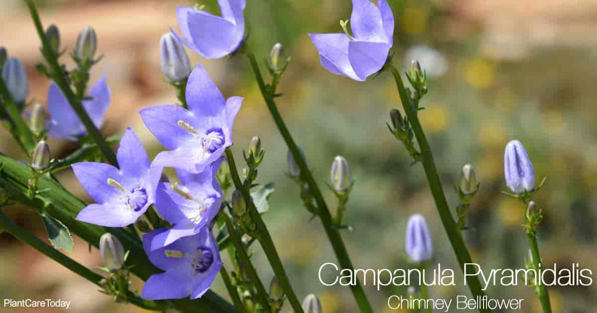 Blooming chimney bellflower (Campanula pyramidalis)