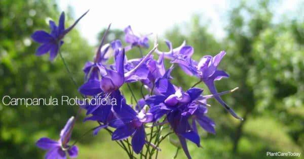 Purple flowers of the Rotundifolia Campanula (Harebell plant)