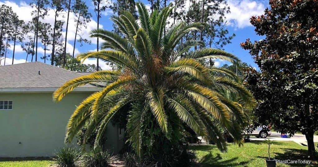 Phoenix canariensis growing in the landscape - Palm Coast Florida