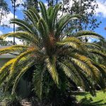 How To Care For Canary Island Date Palm