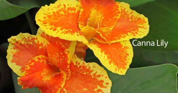 Flowers of the Canna lily