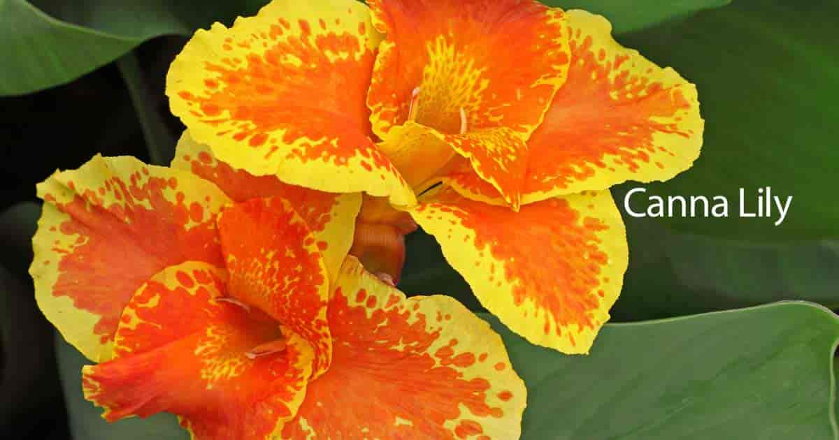Canna lily how to plant grow and care for the canna lilies mightylinksfo