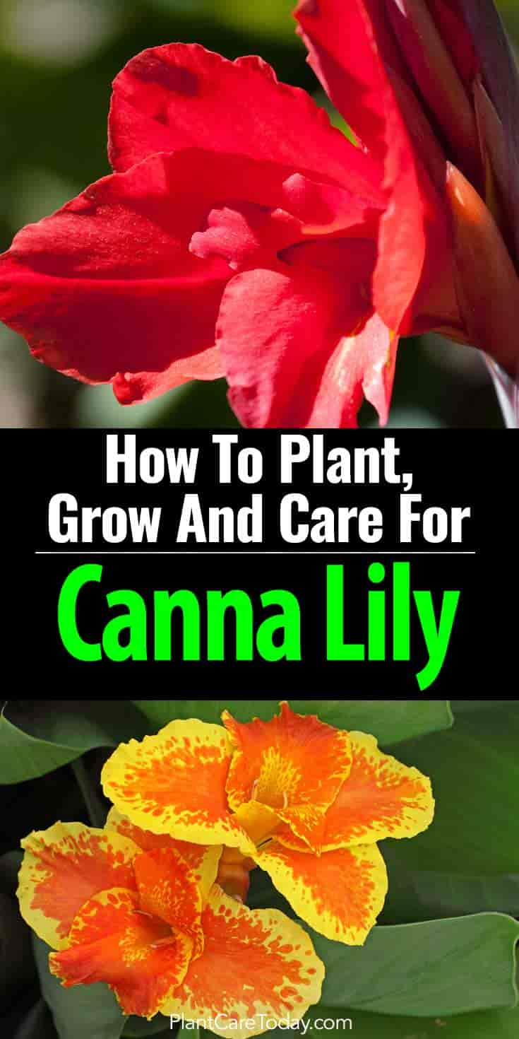canna lily how to plant grow and care for the canna lilies. Black Bedroom Furniture Sets. Home Design Ideas
