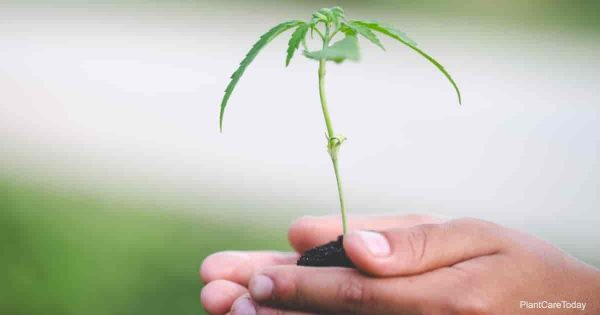 reduce cannabis transplant shock to seedlings