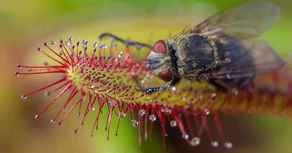 Drosera capensis (sundew)