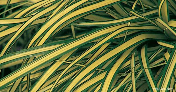 Attractive grass Carex evergold from Proven Winners