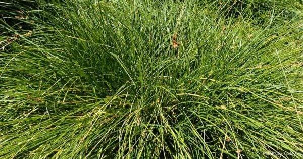 Ornamental carex tumulicola grass