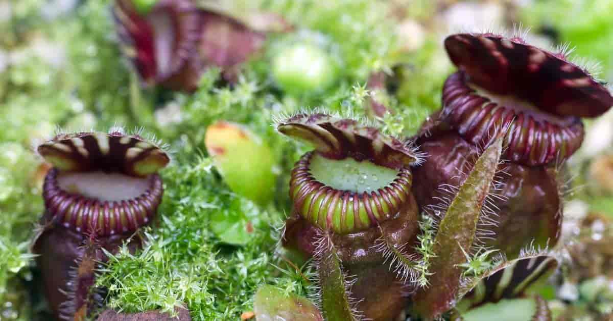 Carnivorous sundae plants