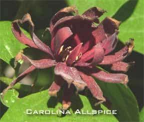 carolina-allspice-288