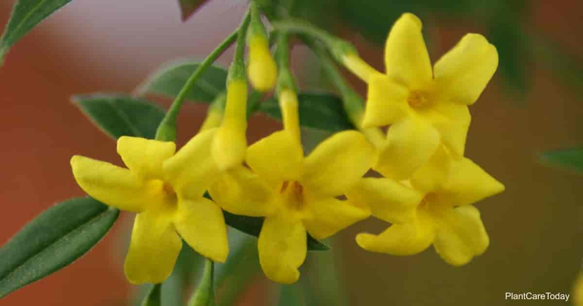 Gelsemium sempervirens (Carolina Jasmine) South Carolina State Flower