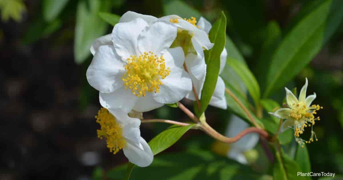 Flowering Carpenteria Californica - Bush Anemone
