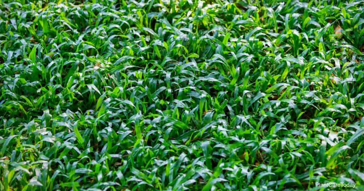 Axonopus (Carpet grass)