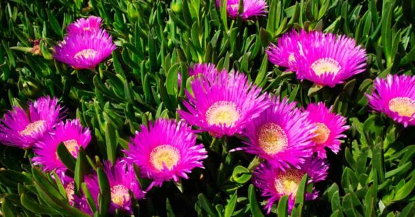 Blooming Carpobrotus Edulis Ice Plant