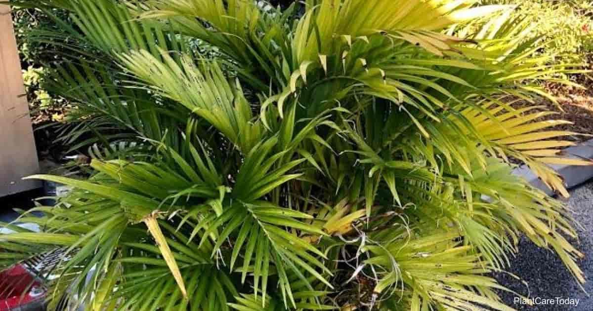 fronds of the Cat Palm cat palm (Chamaedorea Cataractarum)