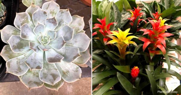 echeveria and guzmania bromeliad both cat safe houseplants