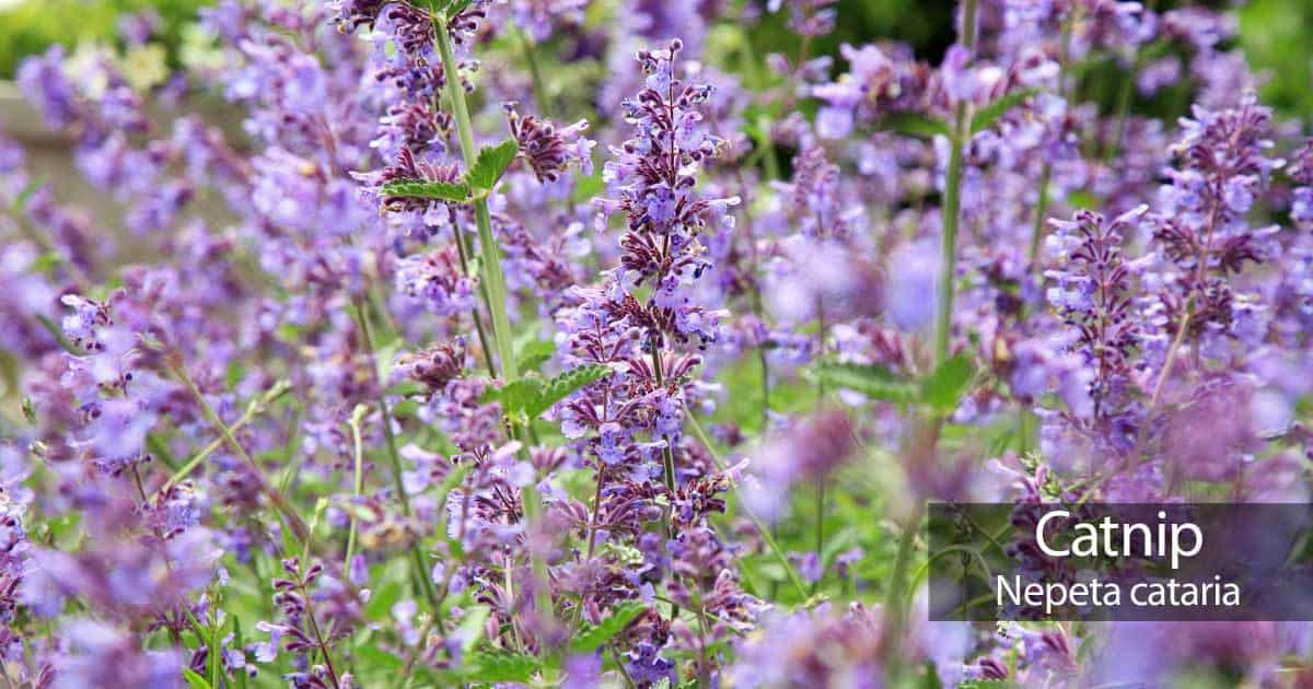 blooms of growing catnip - nepeta cataria - in a large outdoor location