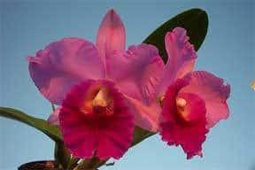 cattleya-orchid-pink