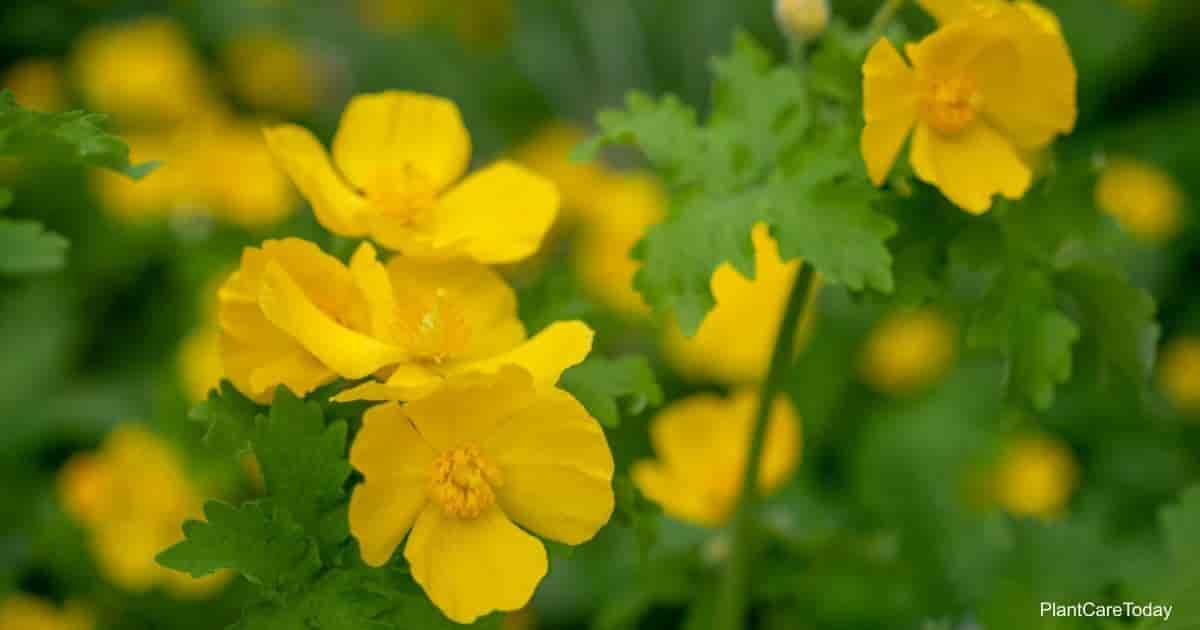 Yellow flowers of the Celandine Poppy