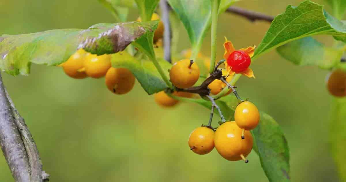 Invasive Oriental Bittersweet Vine [Celastrus Orbiculatus]
