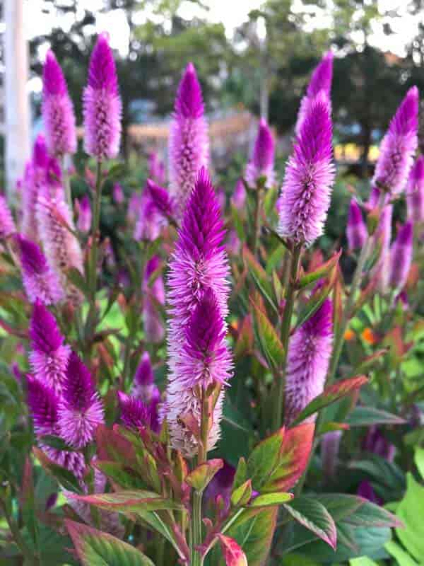 feathery Celosia in flower