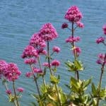 Blooming Centranthus Ruber - Red Valerian