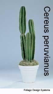 cereus-perivianus-fds