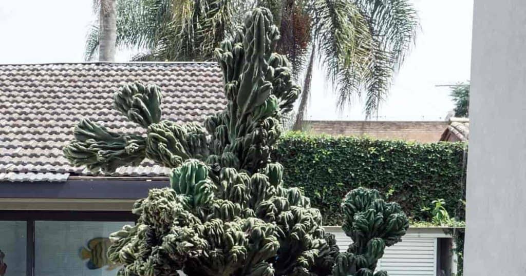 Cereus Peruvianus Monstrose growing in full sun