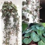 Ceropegia Woodii: How To Grow, Care For The Rosary Vine