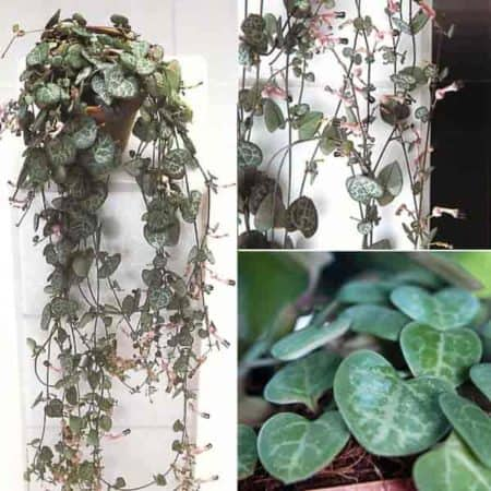 Ceropegia vines in small hanging baskets