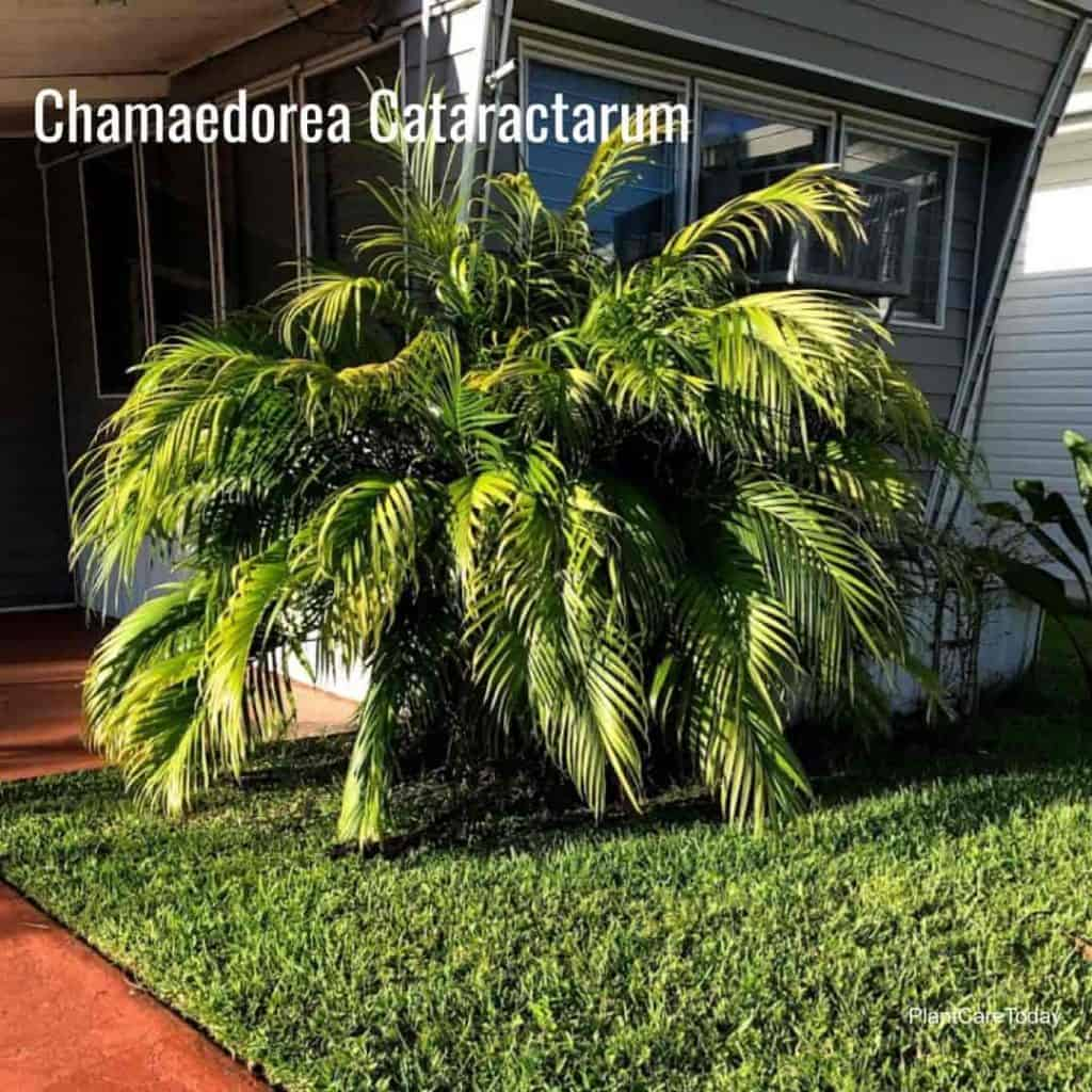 Cat Palm outdoors planted and growing in the landscape - St Petersburg, Florida