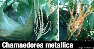 Chamaedorea Metallica - the metal palm