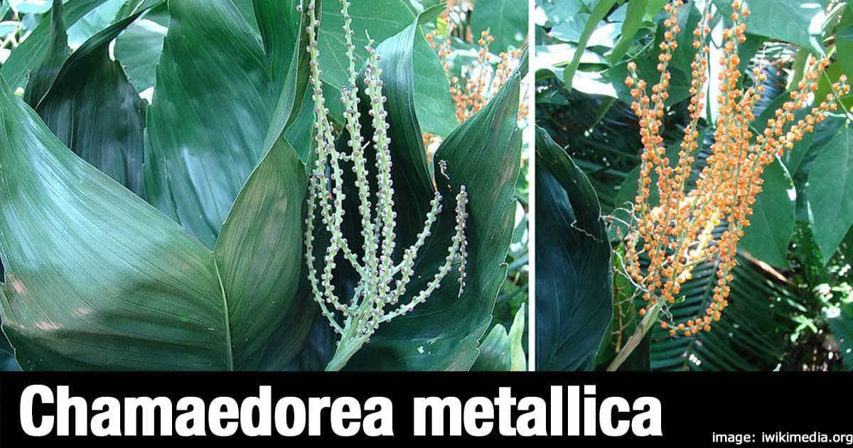Chamaedorea metallica flowers