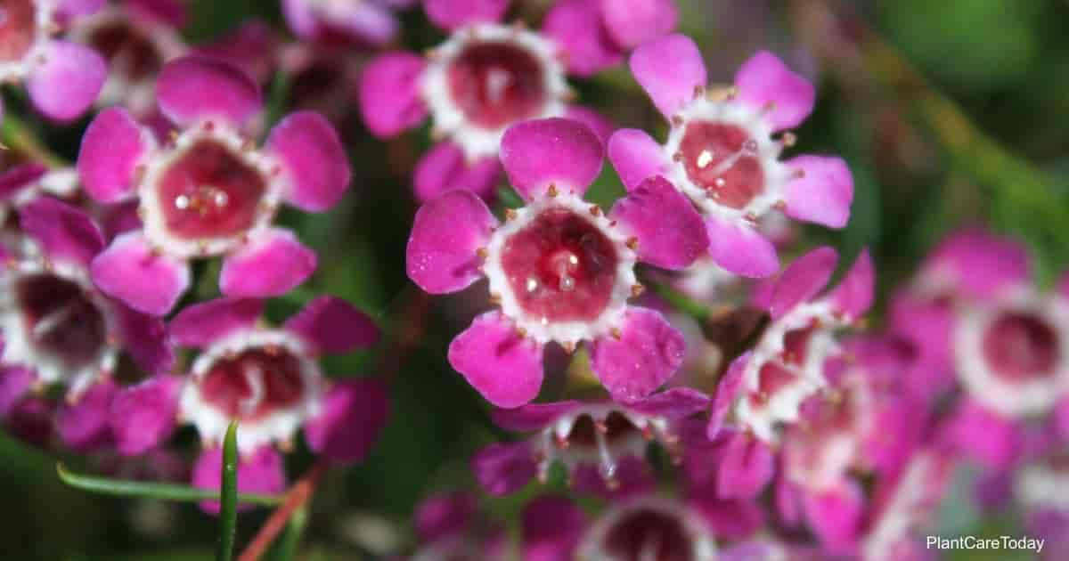 Blooms of the Chamelaucium uncinatum