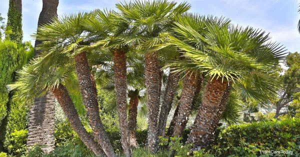 Clump of Mediterranean Fan Palm