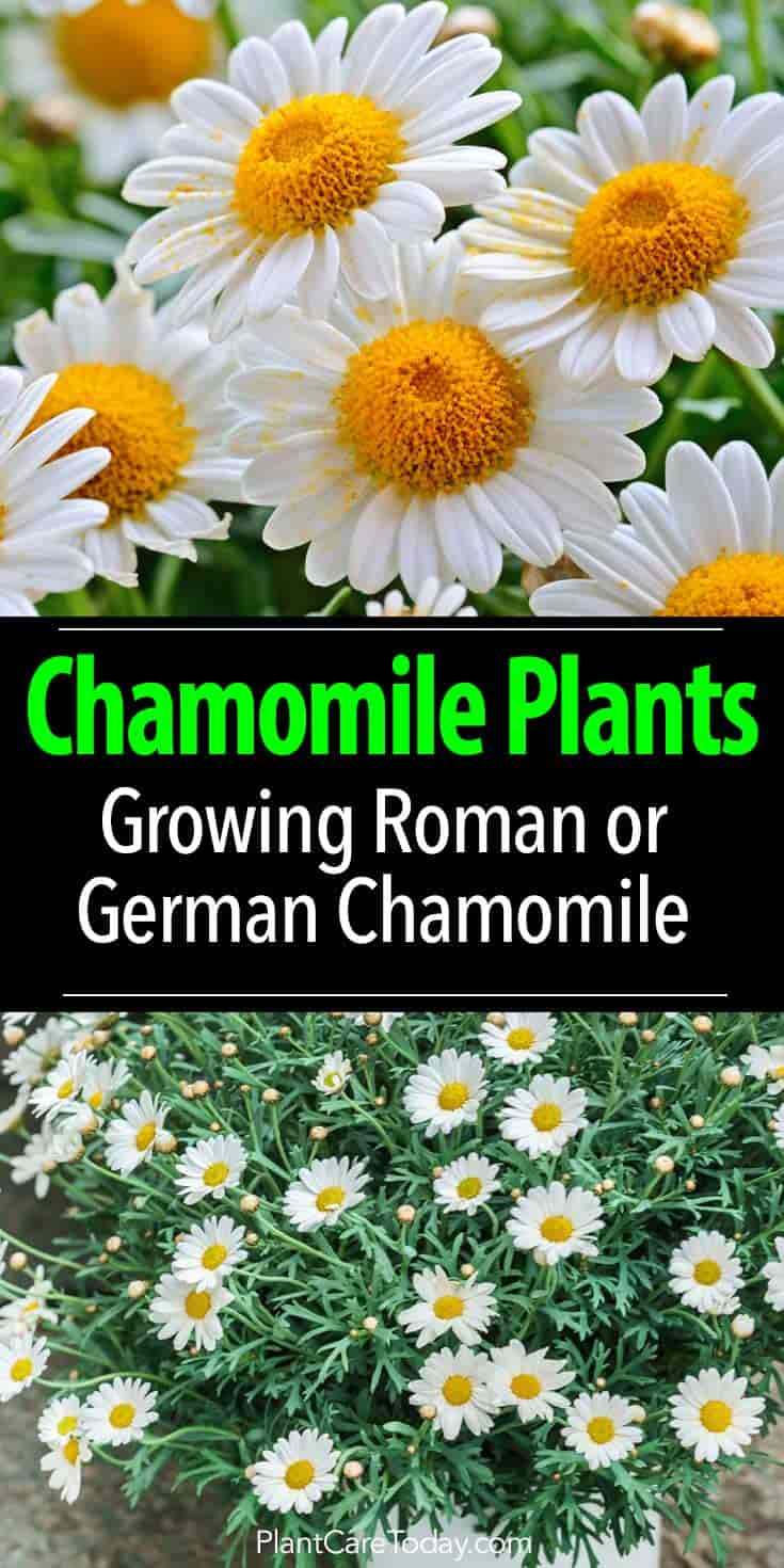Chamomile Plants Growing And Care Of Roman Or German Chamomile Flowers