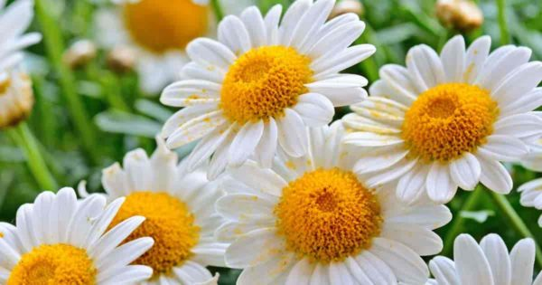 chamonile flowers
