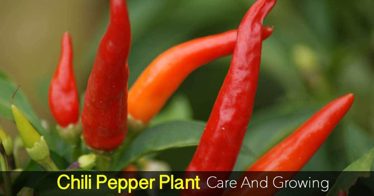 How To Grow The Chile Peppers Plant