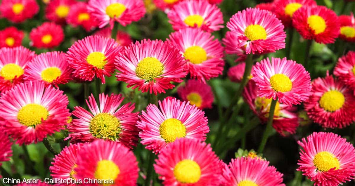 Colorful China Asters in full bloom.