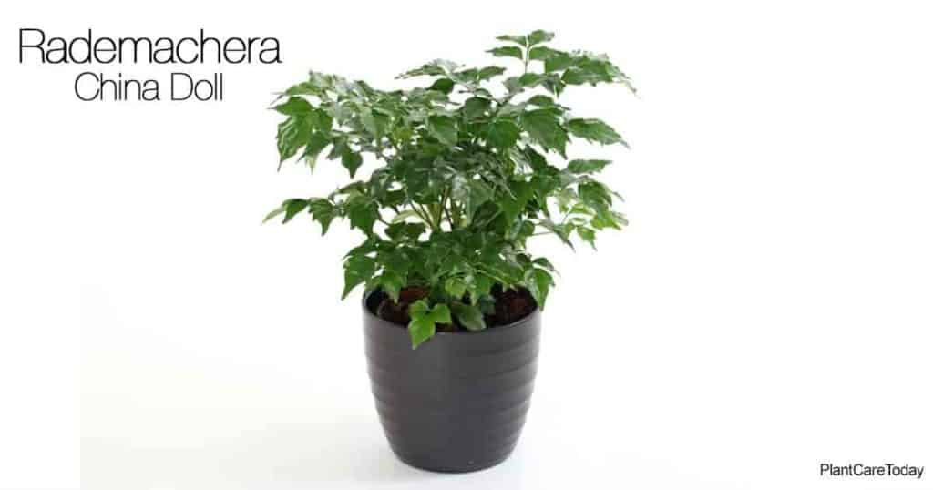 Potted China Doll Plant -Rademachera