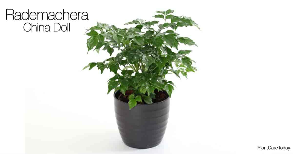 China Doll Plant How To Grow And Care For Rademachera