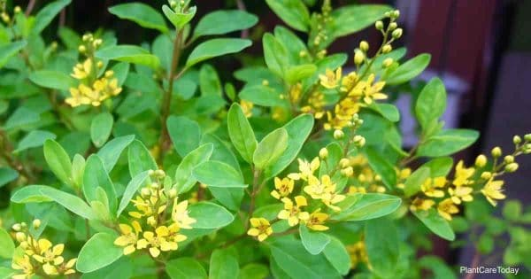 Flowering Chinese Perfume Plant (Aglaia Odorata)
