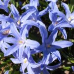 Flowering Chionodoxa bulbs (Glory Of The Snow)
